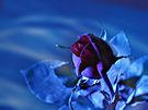 rose screesaver