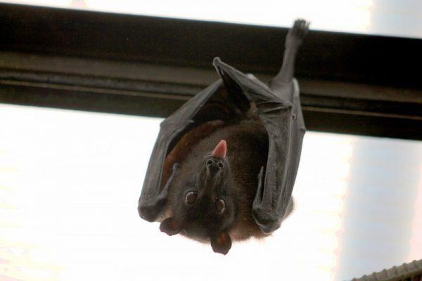 Vampiri: pipistrelli e non solo